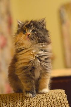 """""""My kitten is dressed in a tortoise-shell suit and I'm sure you will delight in her."""" --William Cowper"""