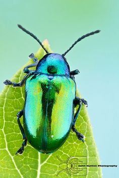Dogbane beetle - Chrysochus auratus by Colin Hutton Photography, via Flickr