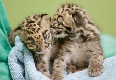 Clouded Leopard Cubs at Point Defiance Zoo