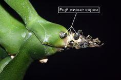 Phalaenopsis. Орхидея без корней. РЕАНИМАЦИЯ. Фаленопсис без корней. Реанимация Фаленопсиса. Умирает Фаленопсис. Как спасти фаленопсис БЕЗ КОРНЕЙ?