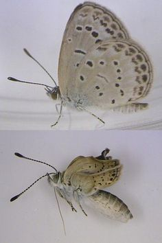 Severe mutations were found in butterflies collected near the Fukushima Daiichi nuclear power plant. A healthy adult pale grass blue butterfly, top, and a mutated variety, bottom, can be seen in this photograph released by Joji Otaki on August 14.