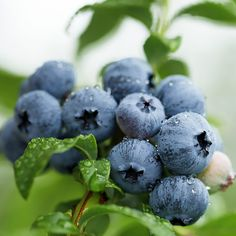 Blueberries   Product Categories   Hartmann's Plant Company   Retail Store $8.80