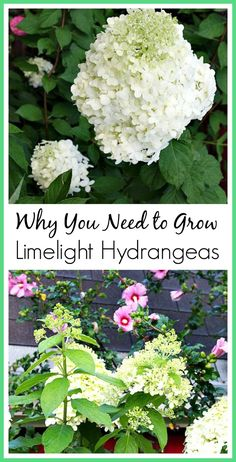 Why you should grow Limelight Hydrangeas. They're really the perfect flowering shrub! (zone 3-8)