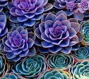 Blue succulents maybe for our dragon garden