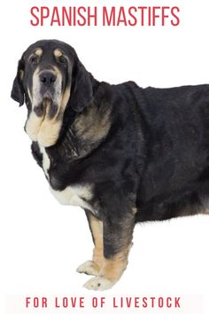 Learn all about Spanish Mastiffs here, including their skills as livestock guardian dogs (LGDs), their suitability as family pets, and training advice! Mastiff Puppies, Chihuahua Puppies, Baby Puppies, Dogs And Puppies, Shelter Dogs, Animal Shelter, Animal Rescue, Spanish Mastiff, Raising Farm Animals