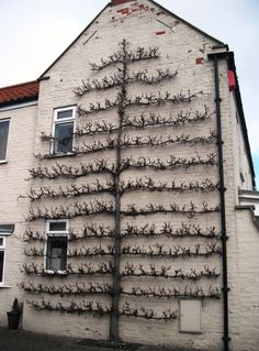 An espaliered fruit tree. Espalier is the horticultural and ancient agricultural practice of controlling woody plant growth for the production of fruit, by pruning and tying branches to a frame,...