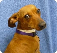 Portland, OR - Dachshund Mix. Meet Lillie a Dog for Adoption.I'm Millie! I couldn't be more excited about being someone's new furry friend. I have been looking for someone to spend time with me and hang out! I adore being with people and want to give you all the love you'll let me! I am more than just a pretty face; I have beauty radiating from inside of me. There are lots of dogs out there but I am one of a kind.