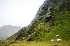 Ovejas pastando en #Islandia #Iceland
