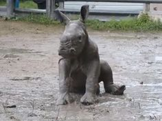 Your Daily Squee: Baby Rhino Learns To Roll In The Mud Like Her Mama