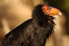 33 Ugly Animals of the World - FoxSumo California Condor, Wild Animal Park, Ugly Animals, Birds Of Prey, Animals Of The World, Bird Watching, Digital Image, Bald Eagle, Being Ugly