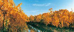 Viñedos en otoño, San Rafael, Mendoza