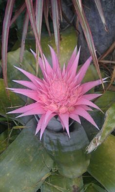 Houseplants for Better Sleep Bromeliads. Unusual Flowers, Rare Flowers, Amazing Flowers, Beautiful Flowers, Cacti And Succulents, Planting Succulents, Cactus Plants, Planting Flowers, Tropical Flowers