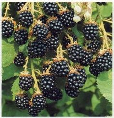 Tips for growing Blackberries (1) From: The Gardening Bible, please visit