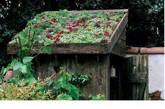 Cubierta vegetal de cobertizo con Sedum