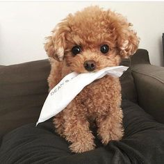 Excellent Free of Charge dogs and puppies poodle Concepts Accomplish you adore your canine? Suitable doggy caution in addition to coaching will Super Cute Puppies, Cute Baby Dogs, Cute Little Puppies, Cute Dogs And Puppies, Cute Little Animals, Cute Funny Animals, I Love Dogs, Doggies, Toy Poodle Puppies