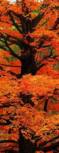 Orange Autumn Splendor in Sterling, Massachusetts...How I wish this tree were in my backyard!