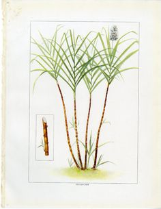 Vintage Sugar Cane Print C. 1911 Grocer's Encyclopedia Lithograph - Sugar Plant, Farmer, Crops - Wall Art, Home Decor, Gift Idea Usa Customs, Custom Mats, Vintage Kitchen Decor, Antique Prints, Gift Wrapping, Display, Wall Art, Antiques