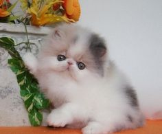 Go Jo Lo: Adorable, sweet persian kitta