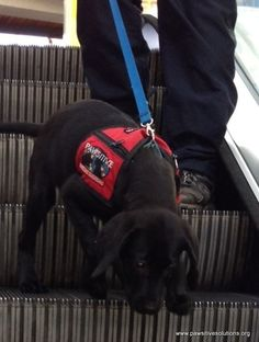 Escalator training is extremely important for a good #autismservicedog pup in training. #autism #autismmom #autismawareness #ig_autism #tmom #tmomphoto #travelingmom www.pawsitivesolutions.org