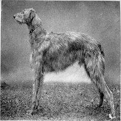 Scottish Deerhound - http://cutiedoggy.com/scottish-deerhound/