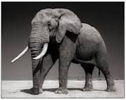 Elephant with Half-Ear, Amboseli, July 2010. Killed by Poachers August 2010