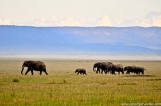 Elephants on the move, Masai Mara, Kenya.