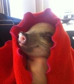 An actual pig in a blanket!  Adorable!