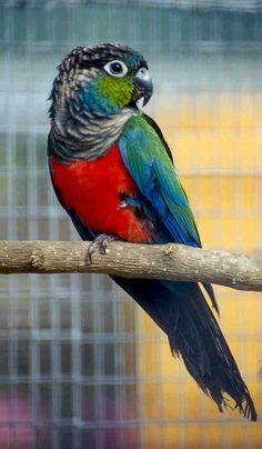 El perico perla o cotorra ventrirroja (Pyrrhura perlata) Es una especie autóctona de las selvas del norte y oriente de Bolivia y oeste de Brasil. Vive en bandas en el bosque húmedo tropical, en tierra firme.