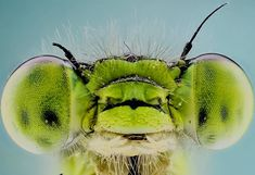 11 отметок «Нравится», 1 комментариев — Nirbod (@drobeca) в Instagram: «#dragonfly #Huawei #macros #macro #macrophotography #macrography #fokus #extrememacro»