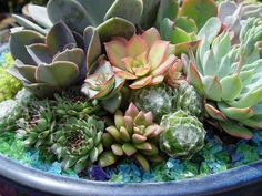 These very tiny succulents allow you to have lots of