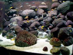 Cichlid-habitat---a beautiful display for Malawi cichlids!