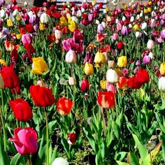 Spring has sprung with pretty tulips.