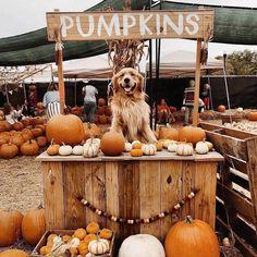way too cute 😍🎃🍁🐕 fall autumn autumnvibes🍁 seasonsinspire halloween pumpkins dog falldog Cute Funny Animals, Cute Baby Animals, Cute Puppies, Cute Dogs, Autumn Aesthetic, Fall Wallpaper, Halloween Wallpaper, Fall Pictures, Fall Pics