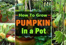 Growing Pumpkins In Containers | How To Grow Pumpkins In Pots