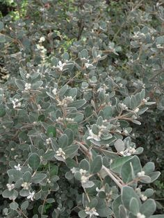 correa alba hedge - Google Search