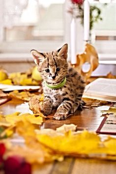 Or a serval :) Cute Little Animals, Baby Animals, Animal Babies, Adorable Animals, I Love Cats, Cute Cats, Serval Kitten, Cat Playground, Animal House