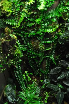 Marcgravia sp. vine in a dart frog vivarium. (Looks really nice, but it's an expensive plant from what I've found.)