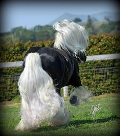 Chocolate silver dapple gypsy vanner horse with a beautiful mane and tail. Most Beautiful Horses, All The Pretty Horses, Beautiful Creatures, Animals Beautiful, Cute Animals, Majestic Horse, Majestic Animals, Horse Photos, Horse Pictures