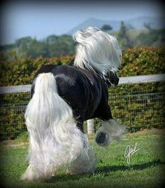 """St Clarins"" ~ World Champion Chocolate Silver Dapple Stallion ~ ♥ http://www.cielocelestefarms.com/stclarins/"