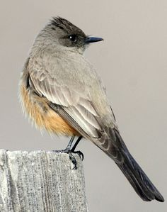 Say's Phoebe, a tyrant flycatcher, common in the west U.S.