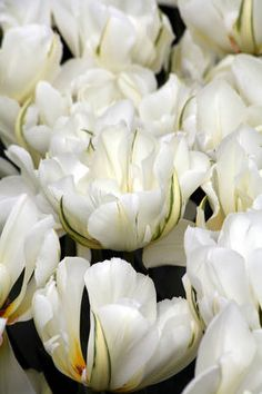 """Exotic Emperor-lovely, pristine white petals with greenish markings on the outer sepals; unusual and elegant; 12""""-16""""; early-mid spring."""