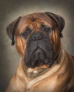 Bull Mastiff yearbook picture