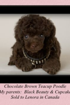 Cutie  Poodle  --  very tiny