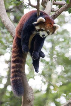 I know the Giant Panda are the more famous, but I love these little mischievous Red Pandas . Cute Funny Animals, Cute Baby Animals, Cutest Animals, Photo Panda, Red Panda Cute, Niedlicher Panda, The Animals, Baby Panda Bears, Baby Red Pandas