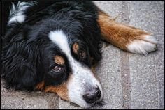 I went for walk with my dog-loving friend Janet, the Bernese Mountain Dog was such a poser, I couldn't resist. free http://MountainDogTraining.readytodownload.net/