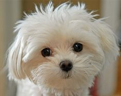 I have a Maltipoo and he looked like this when he was a baby.Maltese dogs are one of many breeds of dogs I like. This one reminds me also of 2 Maltese I had as a young adult. Animals And Pets, Baby Animals, Funny Animals, Cute Animals, Cute Puppies, Cute Dogs, Dogs And Puppies, Doggies, Coton De Tulear