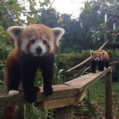 Two of the red panda boys on the catwalk in their exhibit. They love watching their keeper work. Red Panda Gif, Panda Love, Panda Bear, Cute Funny Animals, Cute Baby Animals, Animals And Pets, Cute Animal Photos, Animal Pictures, Cute Pictures
