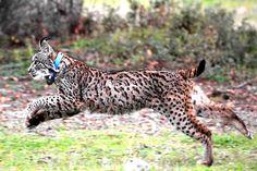 Las poblaciones de lince ibérico se recuperan Lynx, Animal Kingdom, Panther, Giraffe, Goats, Wildlife, Illustration, Cute, Animals