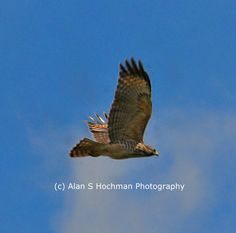 Red Tailed Hawk at Big Cypress WMA in flight