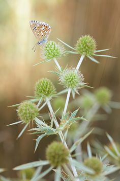 It stings - A butterfly on thistles in the south of France